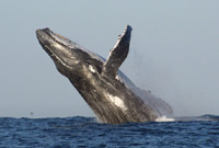 Saut de baleine devant Ifaty -