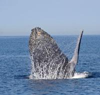 Lancement dune baleine à bosse -
