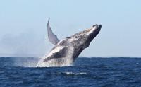 Une baleine à bosse s'amuse devant Ifaty -