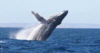Baleine à sauts qui bosse -