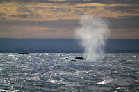 Humpback whale blowing at dusk -