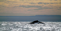 Whale rolling hump at dusk -