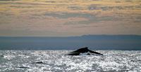Baleine roulant sa bosse au crépuscule -