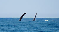 Two pectoral fins for a better slap -