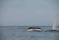 Souffle, nageoire caudale, canal du Mozambique - 21/08/09