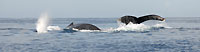 La mer bouillonne de baleines - 21/08/09
