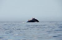 Observateurs derrière une baleine - 21/08/09