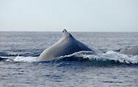Bosse de baleine  - 21/08/09