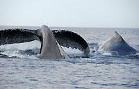 Bosse et queue de baleines  - 21/08/09
