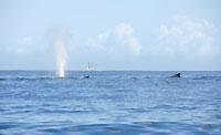 Deux baleines et un boutre au loin - 21/08/09