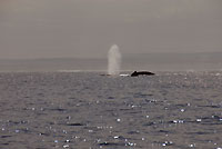 Baleines, souffles, bosse, soir... - 21/08/09