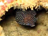 Poisson coffre pintade femelle -