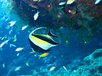 Moorish idol - 31/10/07