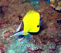 Long-nosed butterflyfish - 31/10/07