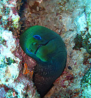 Undulated moray - 04/11/07