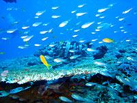 Mérou malabar et poissons de verre sur une table de corail - 06/11/07