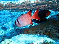 Poisson soldat sous la table de corail - 06/11/07