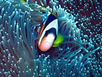 Poissons clown de Madagascar et anémone - 06/11/07