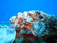 Tassled scorpionfish, side view - 06/11/07