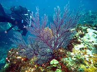 Gorgone dans le corail, avec plongeur - 07/11/07