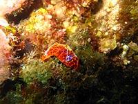 Nudibranche orange dans les canyons - 07/11/07