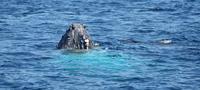 Bout du bout du nez de baleine à bosse -
