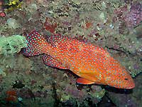 Vieille de corail -