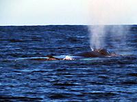 Baleine et baleineau - 15/08/15