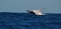 saut de baleine à bosse -
