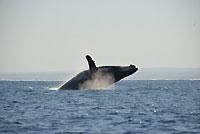 Joyeuse baleine à bosse - 19/08/14