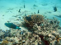 Damselfishes and parrotfish -