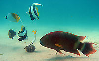 Bannerfish, tripletail wrasse and butterflyfish 2 -