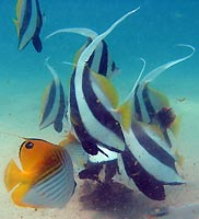 Bannerfishes and butterflyfishes 2 -