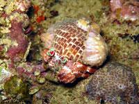 Ermit crab carrying anemones - 14/03/15