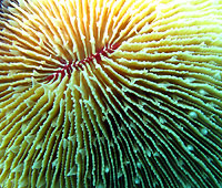 Corail champignon de près - 02/09/12