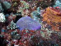 Mushroom coral in its coloured case - 25/08/12