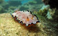 Whitespotted chromodoris nudibranch - 07/10/15