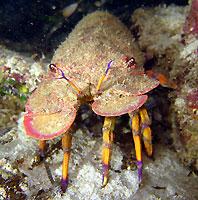 Slipper lobster, a beauty! - 14/03/15