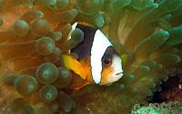 Poisson clown de Madagascar - 23/01/14