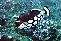 Clown triggerfish - 25/11/08