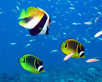 Banner and butterflyfishes at Bevato - 07/09/14