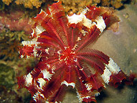 Red feather star - 14/03/15