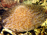 Mushroom coral showing off - 04/04/15