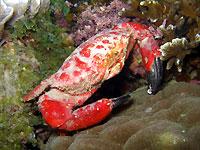 Crabe splendide et toujours aimable - 19/01/13