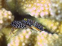 Crabe de corail - 23/04/14