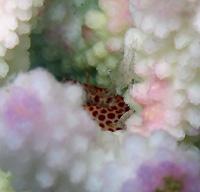 Crabe de corail et crevette symbiotique en leur corail stressé - 16/02/13