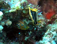 African nudibranch and Coleman nudibranch - 28/10/06