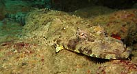 Crocodile fish, or carpet fish - 07/04/20
