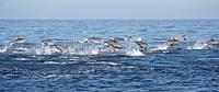 Vol de dauphins aux longs becs -