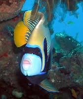 Emperor angelfish - 19/11/06